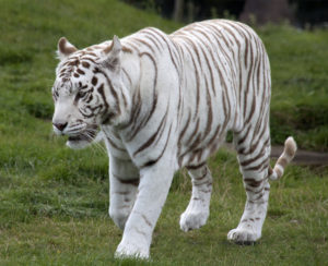 feng shui white tiger