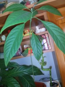 avocado from seed