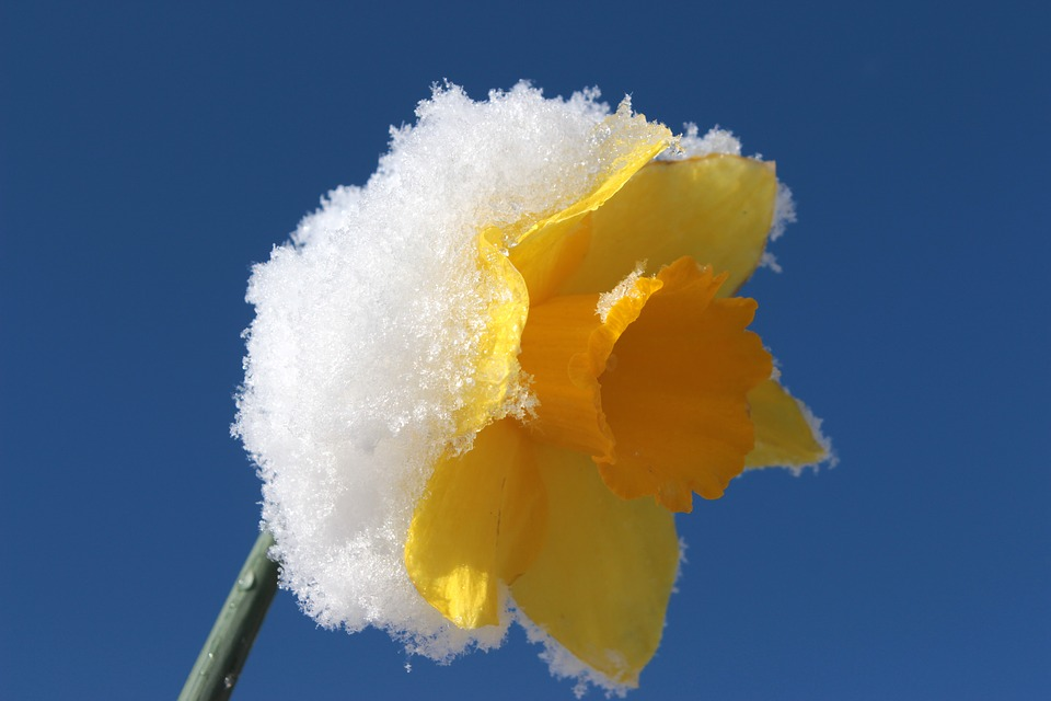daffodil gifts when winter is over
